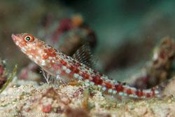 BD-160102-Kalanggaman-1934-Synodus-variegatus-(Lacepède.-1803)-[Variegated-lizardfish].jpg
